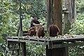 2014 Borneo Luyten-De-Hauwere-Bornean orangutan-12.jpg
