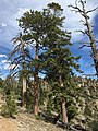 2015-04-30 16 02 03 Ponderosa Pine and Fir along the Trail Canyon Trail in the Mount Charleston Wilderness, Nevada about 1.7 miles north of the trailhead.jpg