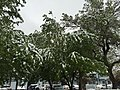 2015-05-07 08 09 05 A Crabapple covered by a late spring wet snowfall on Court Street in Elko, Nevada.jpg