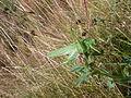 2015-08-03 Grünes Heupferd auf einem Klee (2).JPG