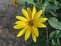 20150916Helianthus tuberosus.jpg