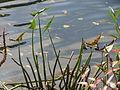 20151011Sagittaria sagittifolia1.jpg