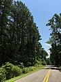 2016-07-20 13 20 01 Pine trees along Mackall Road south of Cape Leonard Drive in Mackall, Calvert County, Maryland.jpg