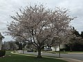 2017-04-03 16 06 37 White Flowering Cherry blooming near the end of Ladybank Lane in the Chantilly Highlands section of Oak Hill, Fairfax County, Virginia.jpg
