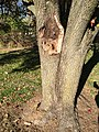 2017-11-24 13 54 59 Branch wounds on a Bradford Pear starting to slowly split apart along Stone Heather Drive in the Franklin Farm section of Oak Hill, Fairfax County, Virginia.jpg