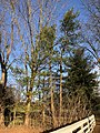 2018-03-19 18 18 35 A pair of Eastern White Pines along Franklin Farm Road in the Franklin Farm section of Oak Hill, Fairfax County, Virginia.jpg