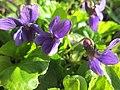 20190320 Viola odorata 2.jpg