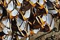2020-05-07 — Pelagic Gooseneck Barnacle (Lepas anatifera) 1.jpg