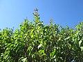 20200422Syringa vulgaris1.jpg
