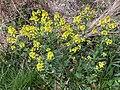 2021-04-12 17 40 53 Yellow mustard flowers along a walking path in the Franklin Farm section of Oak Hill, Fairfax County, Virginia.jpg