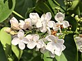 2021-04-25 17 35 46 White lilac flowers along Indale Court in the Franklin Farm section of Oak Hill, Fairfax County, Virginia.jpg