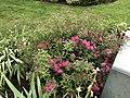 2021-06-03 09 30 09 Japanese spiraea blooming along Glen Taylor Lane in the Chantilly Highlands section of Oak Hill, Fairfax County, Virginia.jpg
