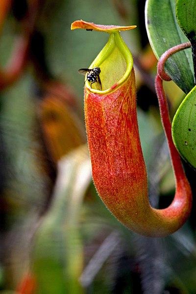 Kantong Penangkap Serangga Pada Tumbuhan Kantong Semar