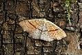 70.036 BF1680 Maiden's Blush, Cyclophora punctaria (14107681316).jpg