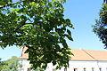 9.Čechovna pohled na jižní stěnu přes strom před Čechovnou.JPG