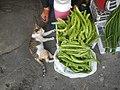 9935Black tortoiseshell and white cat portraits in the Philippines 01.jpg