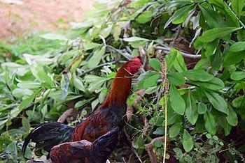 A Beautiful Hen.jpg
