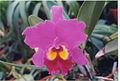 A and B Larsen orchids - Brassolaeliocattleya Bryce Canyon Splendiferous 623-14.jpg