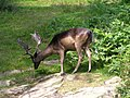 A buck in Bradgate Park near Newtown Linford - geograph.org.uk - 565175.jpg