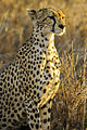 A cheetah is seen at the Serengeti National Park in Tanzania Nov. 13, 2013 131113-N-LE393-1060.jpg