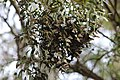 A cluster of monarch butterflies roosts on the branch of a Eucalyptus tree at the Pismo Beach Monarch Butterfly Grove. (32748447355).jpg