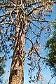 A dead tree.JPG