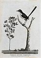 A female superb warbler sitting on a branch of a tree. Etchi Wellcome V0022866ER.jpg