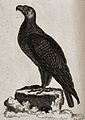 A golden eagle sitting on a stump of a tree. Etching by T. O Wellcome V0020935.jpg