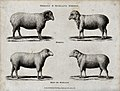 A ram and ewe of the Merino and Ryeland breeds of sheep. Etc Wellcome V0021716.jpg