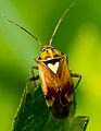 A stink bug with white triangle on abdomen.jpg