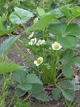 Aardbei plant.jpg