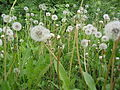 Ab plant 496.jpg