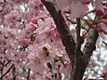 Abelha em Flor de Cerejeira.jpg