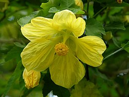 Abutilon x hybridum 'Moonchimes' Flowers 3264px