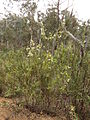 Acacia genistifolia (9019774419).jpg