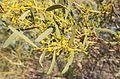 Acacia ligulata foliage.jpg