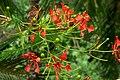 Acacia roja - Flamboyant (Delonix regia) - Flor (14343660050).jpg