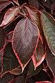 Acalypha wilkesiana B.jpg
