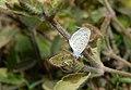 Acanthecae- Host plant of Zizula hylax (Fabricius, 1775) – Tiny Grass Blue Acanthecae.jpg