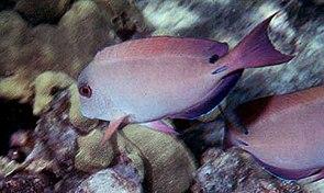 Goldtupfen-Doktorfisch (Acanthurus nigrofuscus)