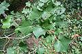 Acer Cappadocicum ssp. sinicum var. tricaudatum JPG1L.jpg