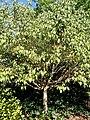 Acer cissifolium - J. C. Raulston Arboretum - DSC06137.JPG