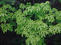 Acer heldreichii ssp visianii Mt Orjen Monenegro.JPG