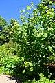 Acer pensylvanicum - Asticou Azalea Garden - Northeast Harbor, Maine - DSC03564.jpg