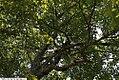Acer rubrum 21zz.jpg