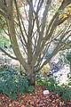 Acer rufinerve - Quarryhill Botanical Garden - DSC03612.JPG