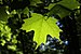 Sugar Maple - Photo (c) Crusier, some rights reserved (CC BY-SA)