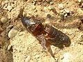 Acherontia atropos04.jpg
