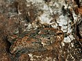 Acleris hastiana - Плоская листовёртка изменчивая (26462553937).jpg