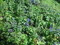 Aconitum and Ligularia dentata in Mount Hijiri 2002-08-14.jpg